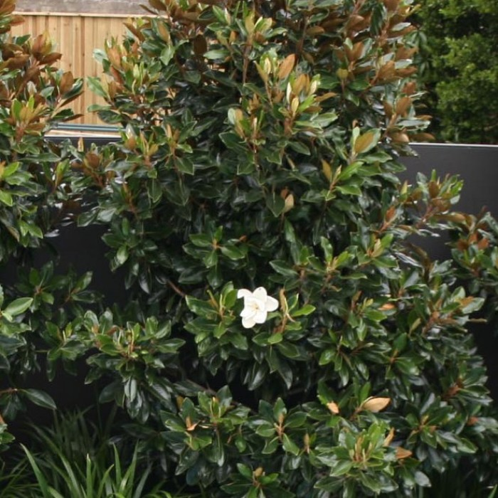 Magnolia grandiflora 39 little gem 39 magnolia - Magnolia grandiflora ...
